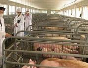 猪场用消毒药是浓度越大越好吗