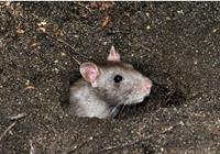 为什么猪场要灭鼠?养猪场灭鼠方法