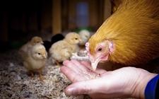 怎样减少养鸡场鸡饲料过度浪费现象?