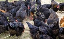 养鸡场鸡群必要哪些营养要素?