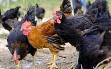 养鸡场鸡群缺水会有哪些危害?