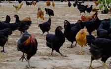 鸡的内在生产性能受哪些因素影响?