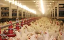 LED养鸡专用灯养鸡设备为什么被广泛使用?