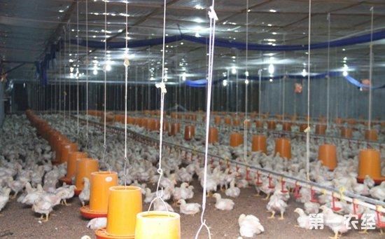 怎样科学进行低成本简易鸡舍的光照控制?