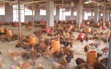 影响鸡群正常生长环境的主要因素是什么?
