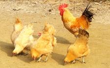自配鸡饲料要切记哪些注意要点?