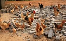 影响鸡饲料自配成功的因素有哪些?