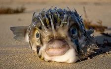 河豚鱼有哪些品种?河豚种类图片大全