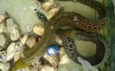 鳗鱼常见的疾病有哪些?鳗鱼疾病防治技术