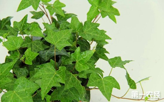 9种容易扦插成活的盆栽植物介绍!掐个枝条就能养活