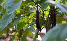 茄子用什么肥好?茄子的需肥特点和施肥技术