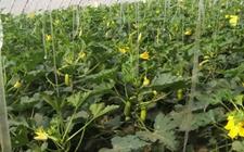 大棚西葫芦怎么种植?大棚西葫芦的种植技术视频