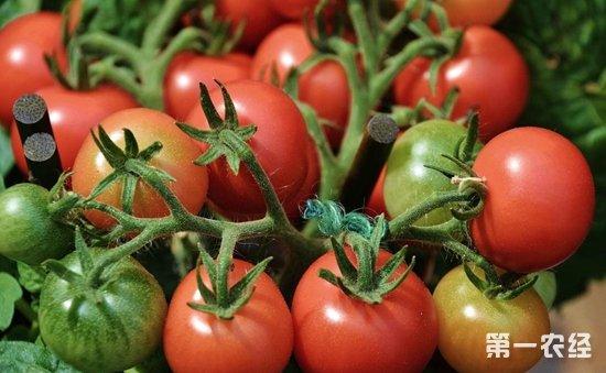 西红柿种植怎么管理?西红柿的田间管理技术