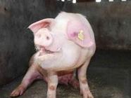 常见猪病的经典诊断方法