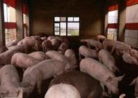 猪场建设:养猪场中猪群结构与存栏头数的计算