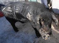 山东里岔黑猪的资源现状及保种措施