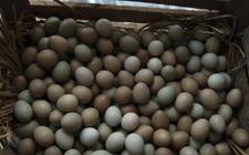 种鸡蛋孵化的三个危险期是什么?