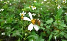 怎样协助蜜蜂对抗天敌?蜜蜂养殖注意事项