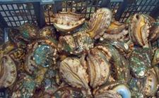 鲍鱼得了孤菌病怎么办?鲍鱼孤菌病的治疗办法有哪些?
