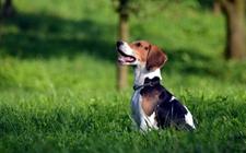 比格犬的常见疾病有哪些?比格犬常见疾病介绍