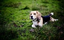 比格犬饲养中需要注意哪些问题?比格犬的饲养要点