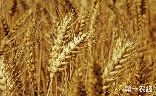 """质优粮源仍呈""""高价难采""""格局 山东、河北麦价不断刷新年内高点"""