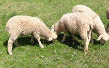初生羔羊咋预防痢疾