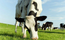 对奶牛用药要注意什么?