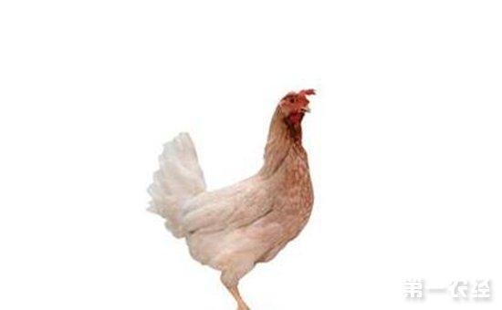 高产褐壳蛋鸡品种——依莎褐蛋鸡