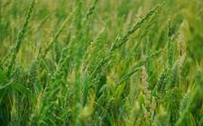 """<b>稗草如何与水稻竞争 我科学家揭开其""""老底""""</b>"""