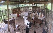 小尾寒羊患有口炎怎么办?羊口炎的治疗方法介绍