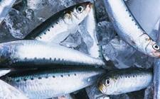 沙丁鱼种类有哪些?沙丁鱼种类图片大全