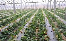 <b>日欲在日俄争议岛屿种植温室草莓</b>