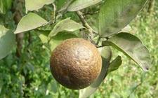 柑橘染上锈壁虱怎么办?柑橘锈壁虱的危害特点和防治方法