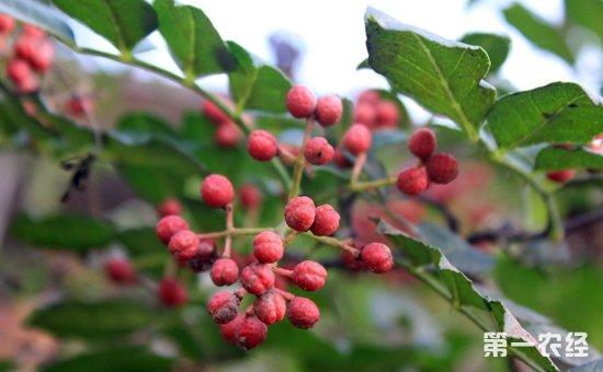 花椒什么时候种植好?花椒树的种植时间和方法