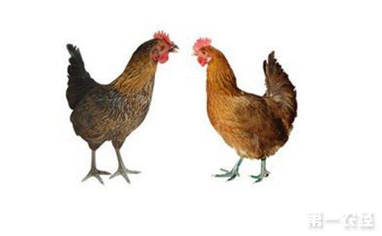新鸡种:奥赛克蛋鸡