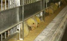 层叠式小鸡笼养设备有哪些特点?