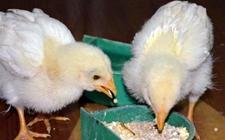 养鸡场雏鸡饲养密度多少合适?
