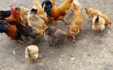 鸡的消化功能有什么特殊性?