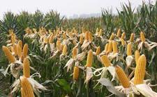 旱田也能种水稻 比玉米增收30%