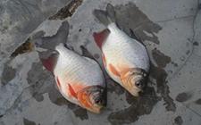 <b>淡水白鲳鱼的常见疾病有哪些?淡水白鲳鱼的疾病防治</b>