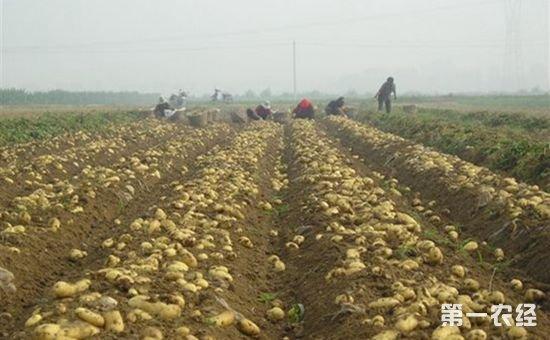 山西娄烦县:为土豆拴上保险绳 促农增收