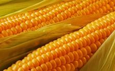 法国玉米产量增长 国际玉米行情下挫