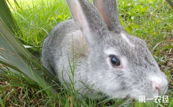 中世纪的法国僧侣们为了食用而驯养了野生的穴兔,然后再逐渐通过丝