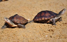 <b>乌龟得了疥疮病怎么办?乌龟疥疮病防治方法介绍</b>