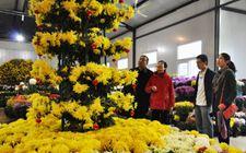 <b>安徽阜阳:以菊花种植业为抓手 大力发展淮菊产业</b>