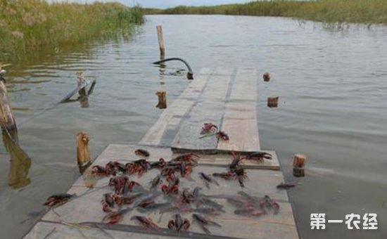 安徽巢湖市:国元保险签出全国首单小龙虾养殖保险