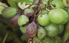 葡萄染上黑腐病怎么办?葡萄黑腐病的病状和防治方法