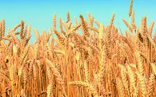 全国多地小麦价格都出现了上涨 继续上涨空间不大