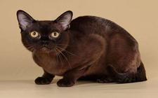 缅甸猫多少钱才能带回家?